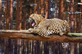 Leopard on wood Royalty Free Stock Images