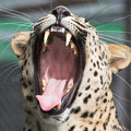 Leopard yawning Stock Photography