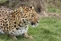 Leopardo Fotografia Stock Libera da Diritti