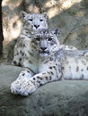 Leopardo de neve Foto de Stock Royalty Free