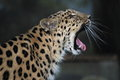 Leopardo dell amur Immagine Stock
