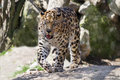 Leopardo dell amur Fotografia Stock