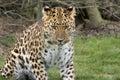 Leopardo messo a fuoco Immagini Stock