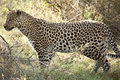 Leopardo no movimento Foto de Stock Royalty Free