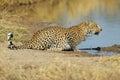 Leopardo a waterhole Fotografia Stock Libera da Diritti