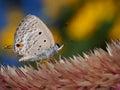 Lepidoptera on Celozja Royalty Free Stock Photo