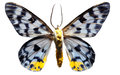 Lepidoptera Tranduc Royalty Free Stock Photo