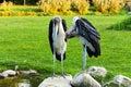 Leptoptilos crumeniferus two marabou stork standing on a rock Stock Images