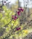 Leptospermum scoparium Burgundy Australian native flowers Royalty Free Stock Photo