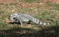 Lesser Antillean Iguana on Martinique Royalty Free Stock Photo