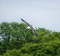 Lesser black backed gull in vlucht Stock Afbeeldingen