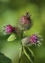 Lesser Burdock flowers Royalty Free Stock Photo