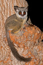 Lesser Bushbaby Stock Photo