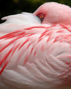 Lesser Flamingo eye Royalty Free Stock Images