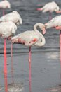 The lesser flamingo standing behind group see my other works in portfolio Royalty Free Stock Images