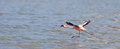 Lesser Flamingo taking off Royalty Free Stock Photography