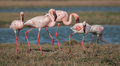Lesser flamingoes the phoenicopterus minor feeding at lake in jamnagar gujarat Royalty Free Stock Photo