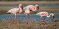 Lesser flamingoes the phoenicopterus minor feeding at lake in jamnagar gujarat Royalty Free Stock Photography