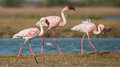 Lesser flamingoes the phoenicopterus minor feeding at lake in jamnagar gujarat Stock Photo