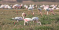 Lesser flamingoes the phoenicopterus minor feeding at lake in jamnagar gujarat Stock Image