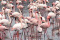 Lesser and greater flamingoes taken in walvis bay namibia flamingos or are a type of wading bird in the genus phoenicopterus the Royalty Free Stock Image