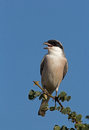 Lesser grey shrike lanius minor Stock Image