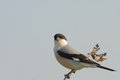 Lesser grey shrike lanius minor perched on a branch Stock Photo