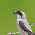 Lesser grey shrike lanius minor portrait Stock Photos