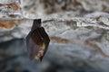 Lesser Horseshoe Bat, Rhinolop...