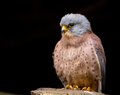 Lesser kestrel falco naumanni close up Royalty Free Stock Photo
