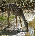 Lesser kudu antelope at wateringg pool latin name tragelaphus imberbi Royalty Free Stock Photography