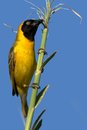 Lesser masked weaver ploceus intermedius breeding in kruger national park south africa Stock Photos
