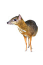 Lesser mouse deer isolated Stock Photo