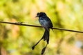 Lesser racket tailed drongo holding on the bamboo branch Royalty Free Stock Images