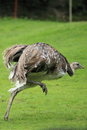 Lesser rhea Royalty Free Stock Photos