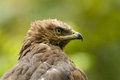 Lesser spotted eagle Royalty Free Stock Photo