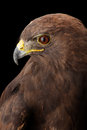 Lesser spotted eagle in studio black background Royalty Free Stock Photography