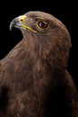 Lesser spotted eagle in studio black background Royalty Free Stock Image