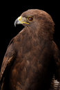 Lesser spotted eagle in studio black background Royalty Free Stock Photo