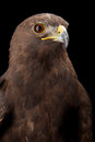 Lesser spotted eagle in studio black background Royalty Free Stock Photos