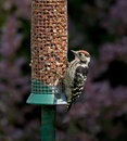 Lesser Spotted Woodpecker Royalty Free Stock Photo