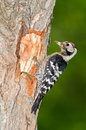 Lesser spotted woodpecker with food Royalty Free Stock Photo