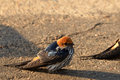 Lesser striped swallow (Cecropis abyssinica) Royalty Free Stock Photo