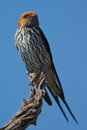 Lesser striped swallow Royalty Free Stock Photo