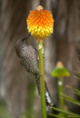 Lesser wattle bird feeding on nectar from a kniphofia flower australian native similar to but without red cheeks Stock Images
