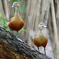 Lesser whistling duck beautiful red dendrocygn a javanica breast profile standing on the log Stock Photos