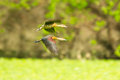 Lesser whistling duck flying in nature Royalty Free Stock Images