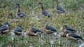 Lesser Whistling-ducks Dendrocygna javanica Royalty Free Stock Photos
