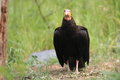 Lesser yellow-headed vulture Royalty Free Stock Photography