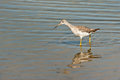 Lesser Yellowleg Royalty Free Stock Photography